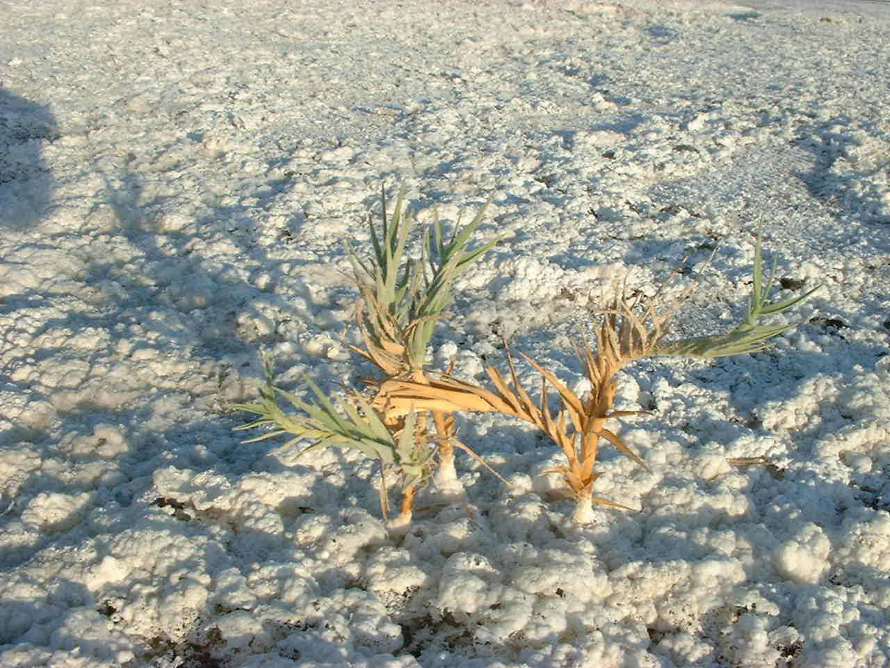 Vegetation surviving in the Badwater Basin Salt Flats of Death Valley