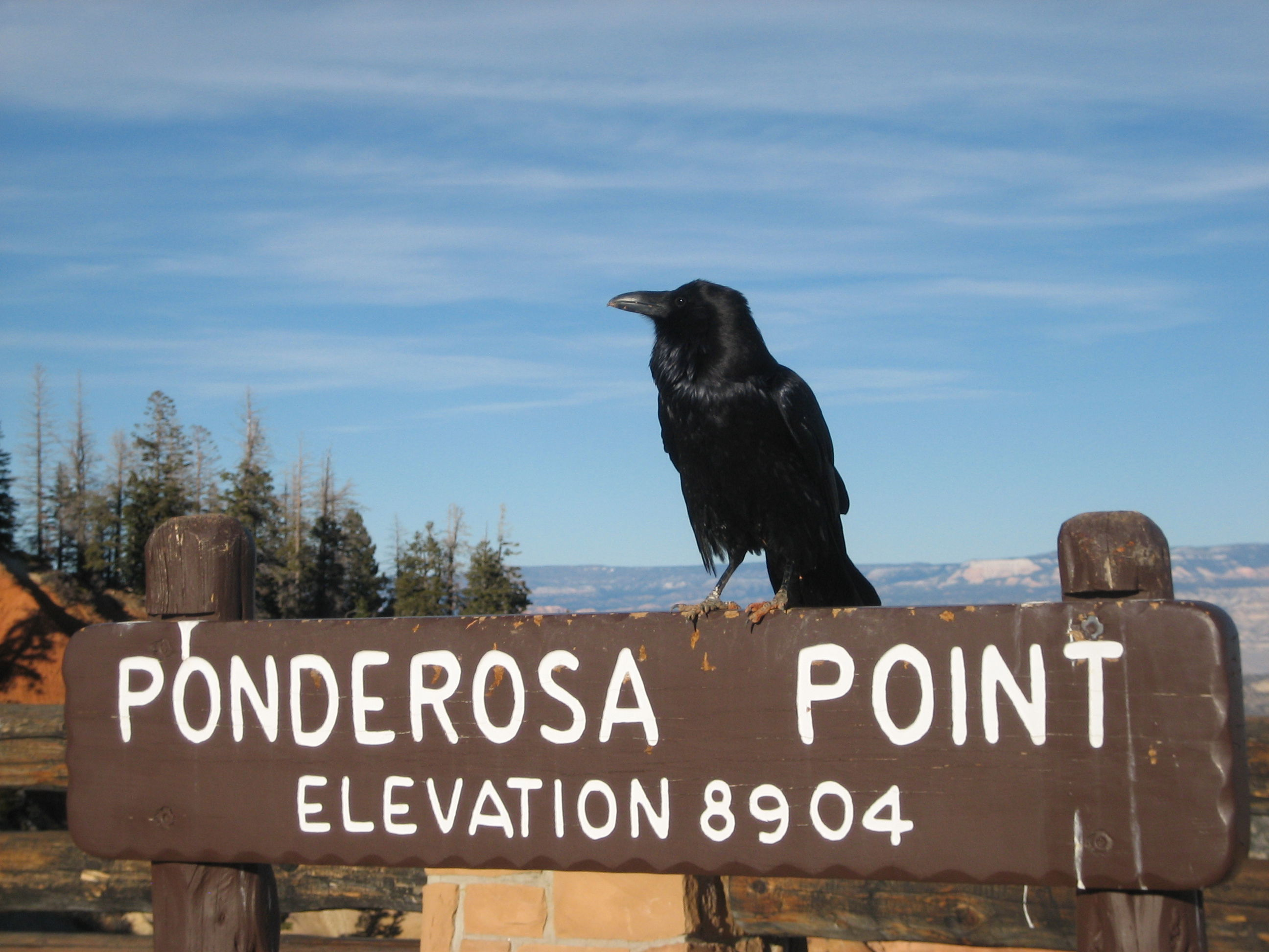 Crow resting at Ponderosa Point