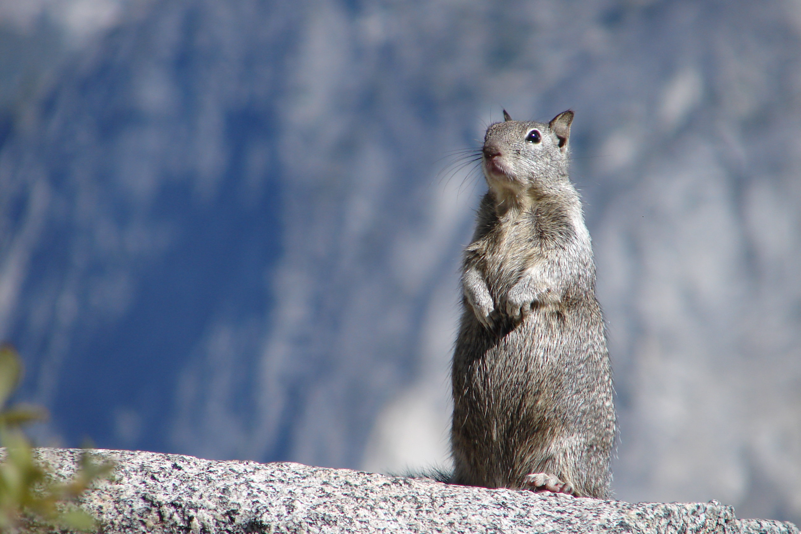 Squirrel from Yosemite State Park